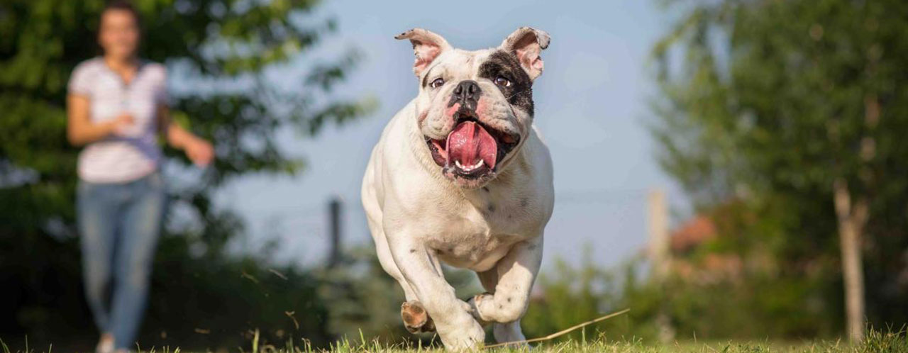 318683318c Nulam Perfect Bulldog Adult
